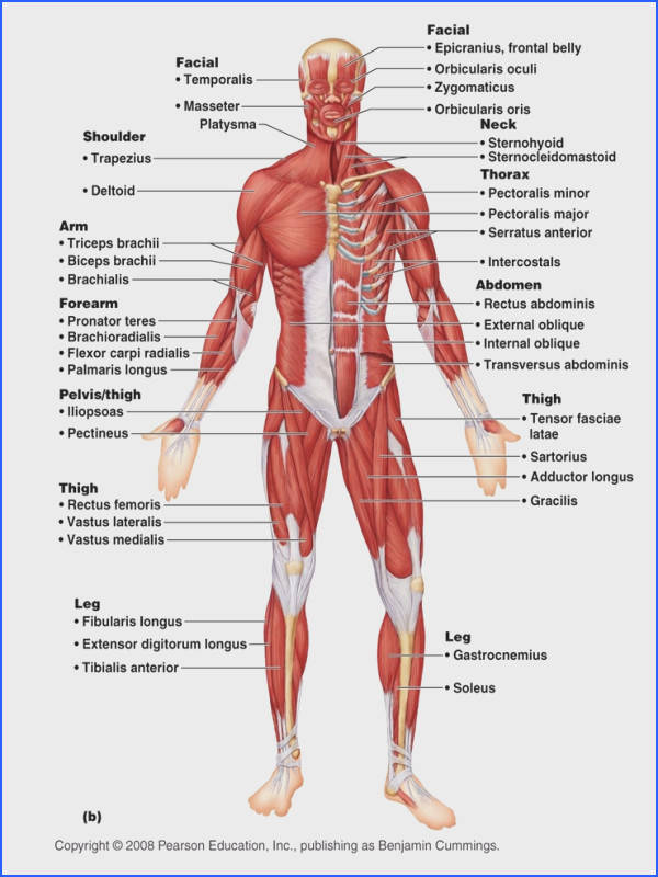 system diagram b labeled b 209 Human Muscular System Diagram…
