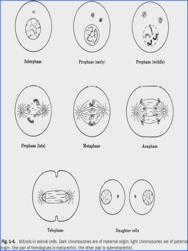 Mitosis Worksheet Phases The Cell Cycle Worksheets For All