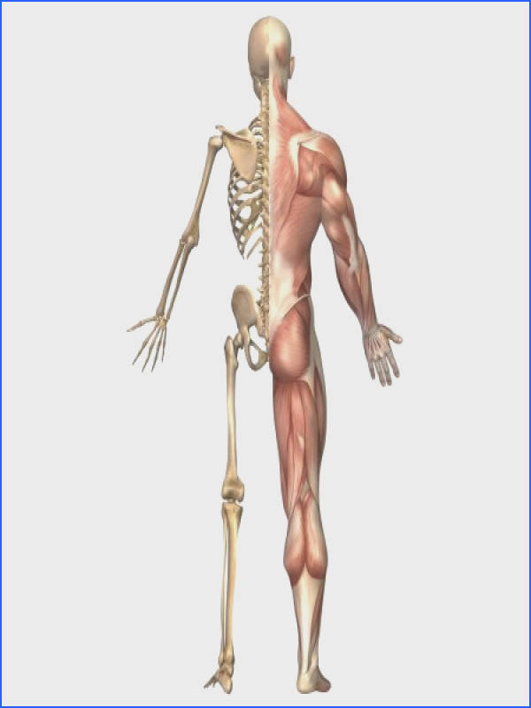 The human skeleton and muscular system back view Canvas Art Stocktrek 11 x