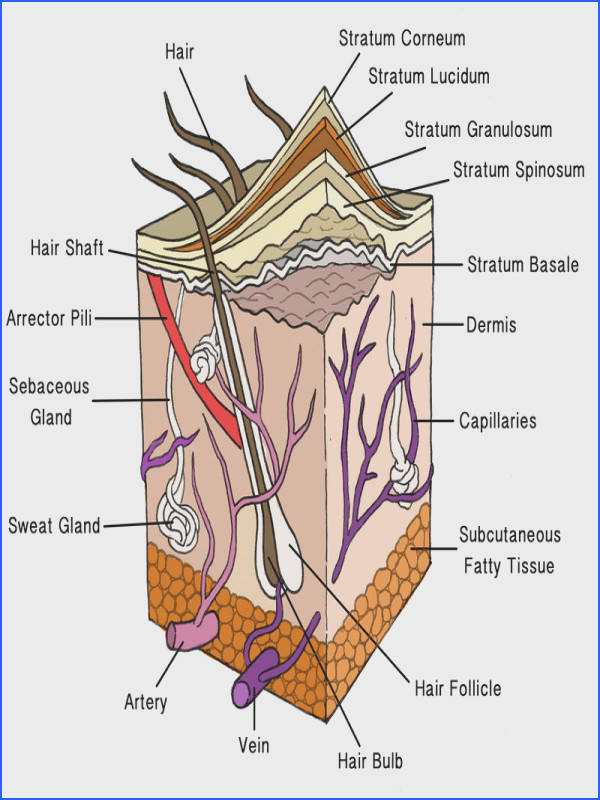 Layers of Human Skin The outer layer of the skin is the epidermis and the inner layer is the dermis Most skin structures originate in the dermis