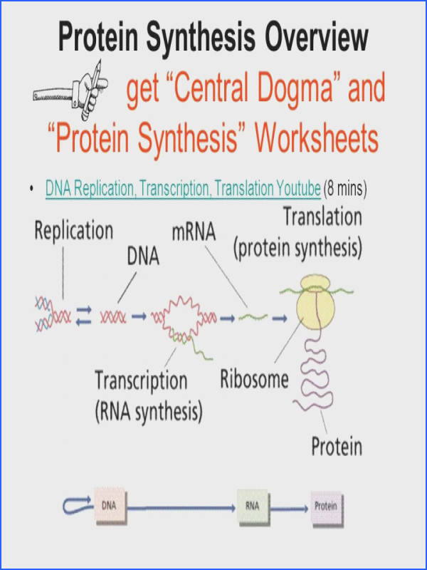 Protein Synthesis Transcription And Translation Worksheet Answers Protein Synthesis Diagram Worksheet Answer Key Periodic