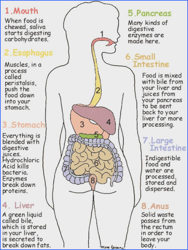 The anatomy of the human digestive system answer key