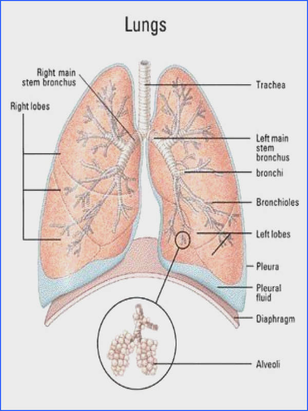 The facts about lung cancer The main causes of in cancer cases is LUNG CANCER Lung cancer contribute to of s in men and in women with cancer