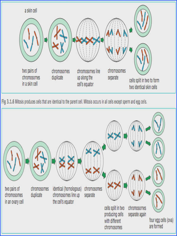 Cell Division by mitosis and meiosis