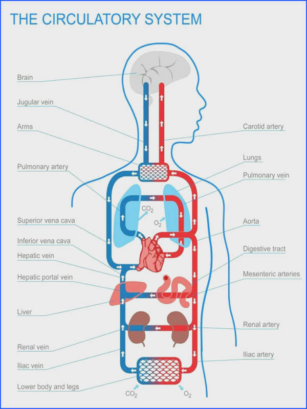 10 best Circulatory System images on Pinterest