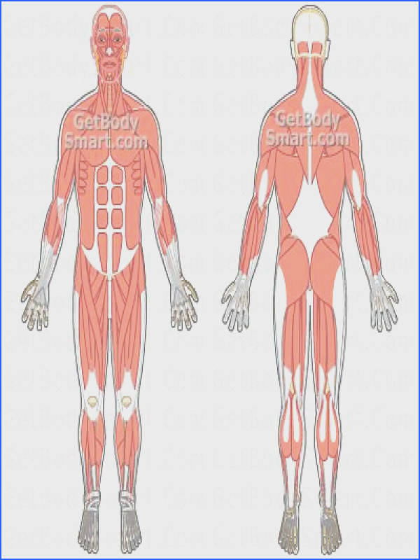 Muscular System Tutorials & Quizzes Skeletal Muscle Anatomy shows muscle origin and insertion in layers