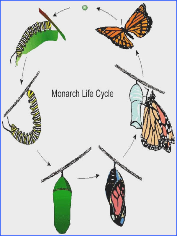 Characteristics Living things grow and develop The Life cycle is a particular pattern of