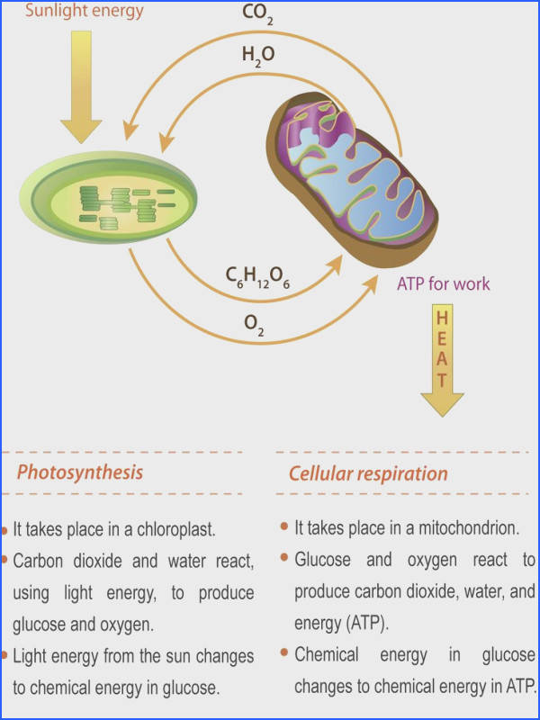 Connecting Cellular Respiration and synthesis