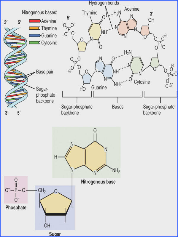 This figure shows the DNA double helix on the top left panel The different nucleotides
