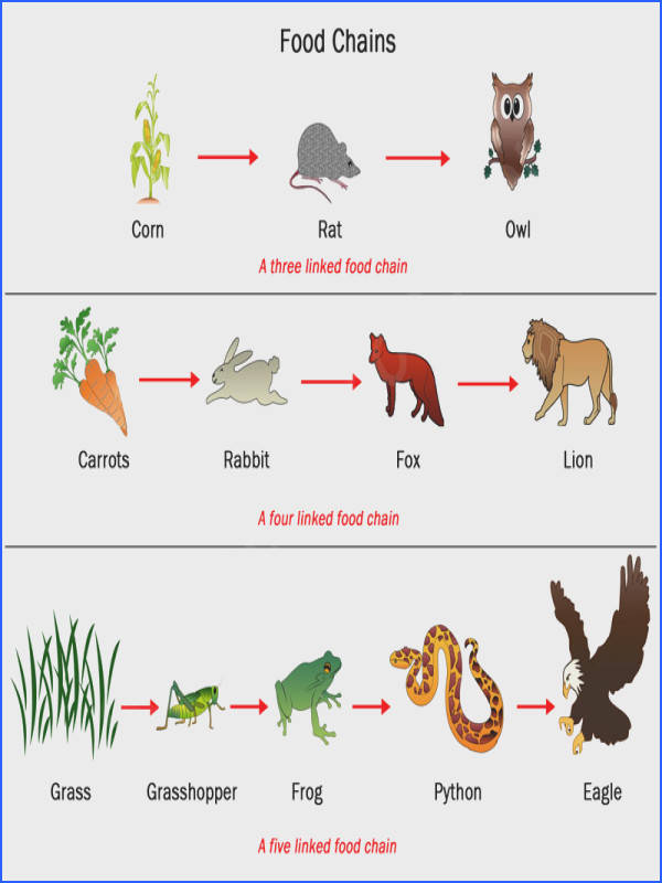 Food Web Principle And Types View r