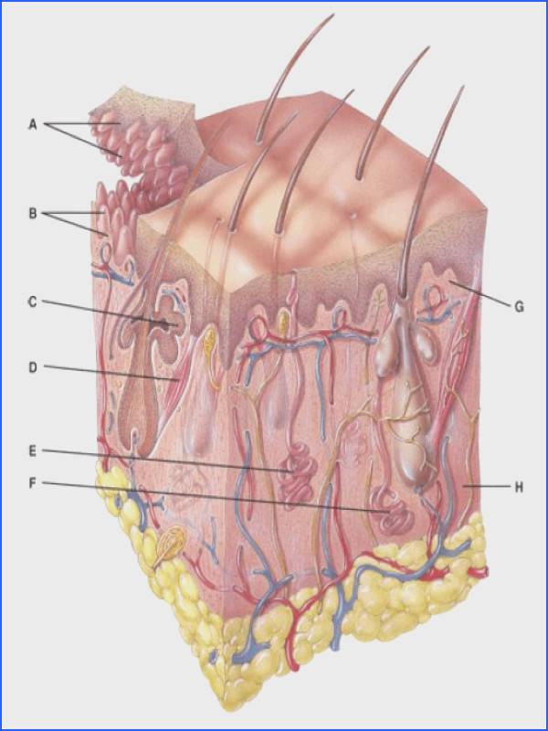 Anatomy And Physiology Questions The Integumentary System