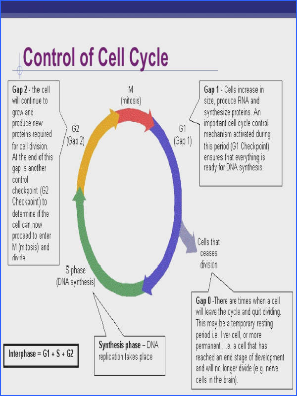Cell Cycle Worksheets Worksheets for all Download and Worksheets