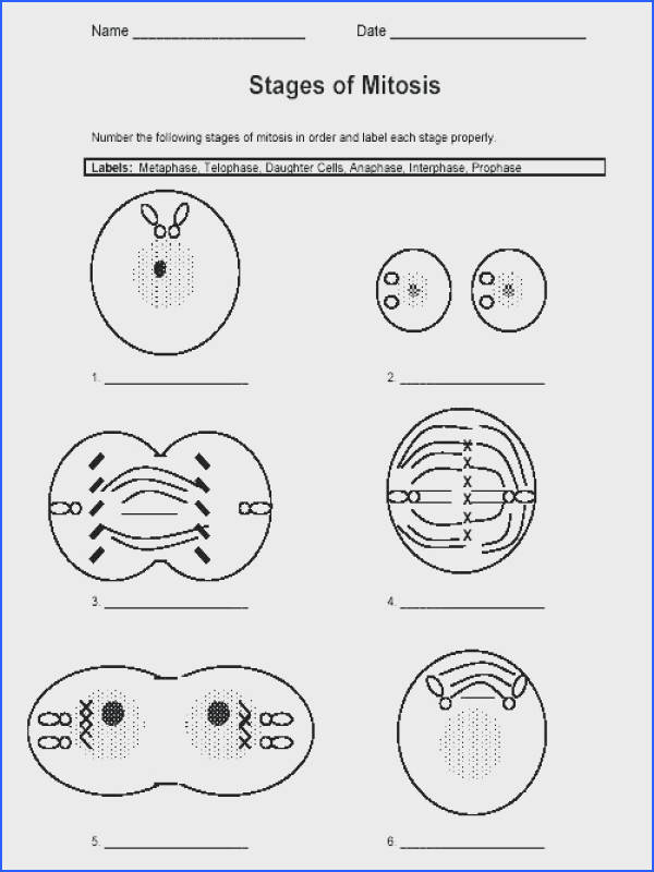 cell division worksheet answers plus worksheets mitosis worksheet stages of mitosis worksheet answers phases cool cell