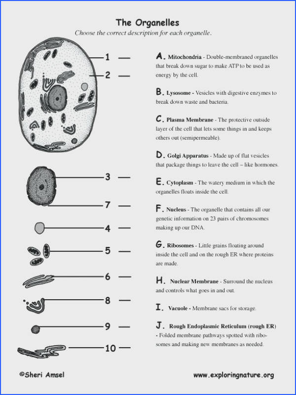 cell structure and function worksheet for cells and their organelles worksheet cool chapter 7 cell structure cell structure and function worksheet