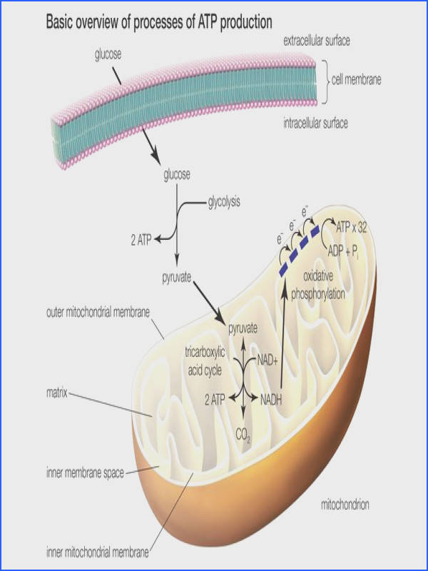 The three processes of ATP production or celluar respiration include glycolysis the tricarboxylic acid cycle and oxidative phosphorylation
