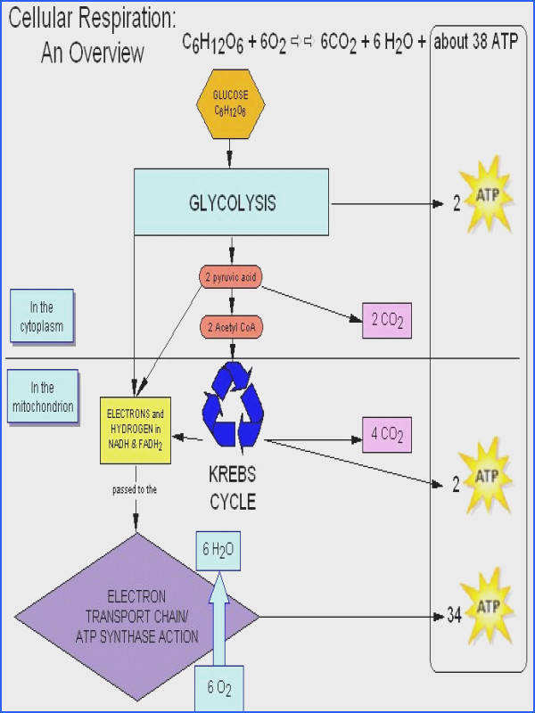 """Cellular Respiration the process by which the chemical energy of """"food"""" molecules is released and partially captured in the form of ATP Carbohydr…"""
