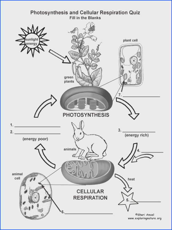 Cellular Respiration Worksheet Answers Fresh Chart Paring synthesis to Respiration This Image is Also Stock
