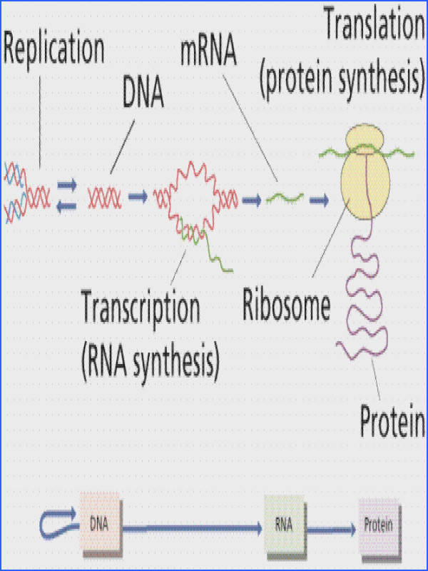Translation is the construction of an amino acid sequence polypeptide from an RNA molecule Although originally called dogma this idea has been tested