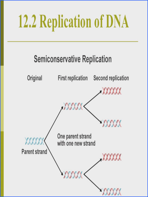 12 2 Replication of DNA Semiconservative