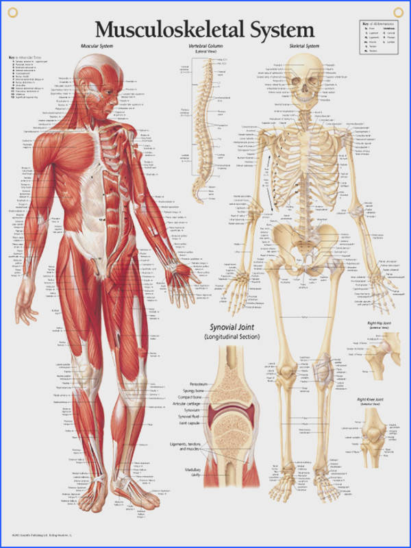 Detailed Muscle Anatomy Anterior View A&P Pinterest