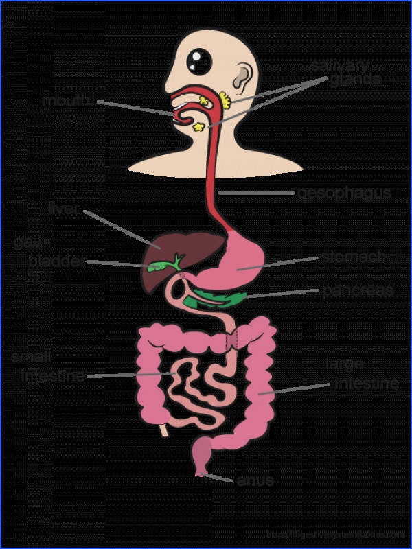 The digestive system is a very important system of organs in our body The food