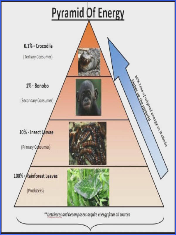 Ecological Pyramid of Energy