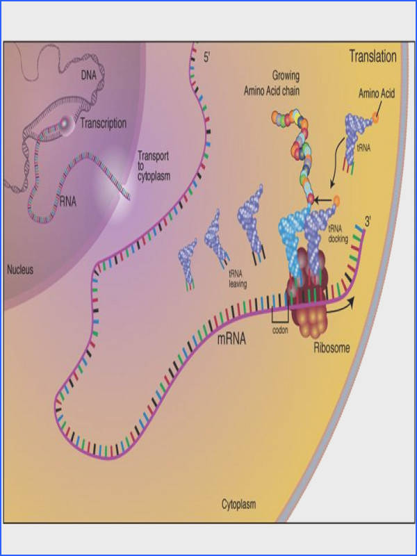 Translation mRNA is translated into protein