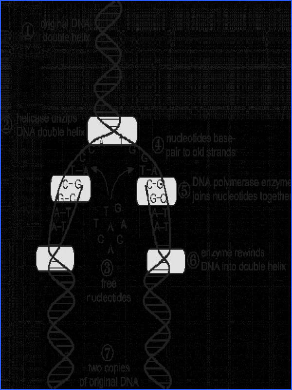 Replication DNA Synthesis [back to top]