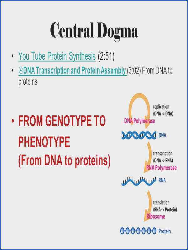 Central Dogma FROM GENOTYPE TO PHENOTYPE From DNA to proteins