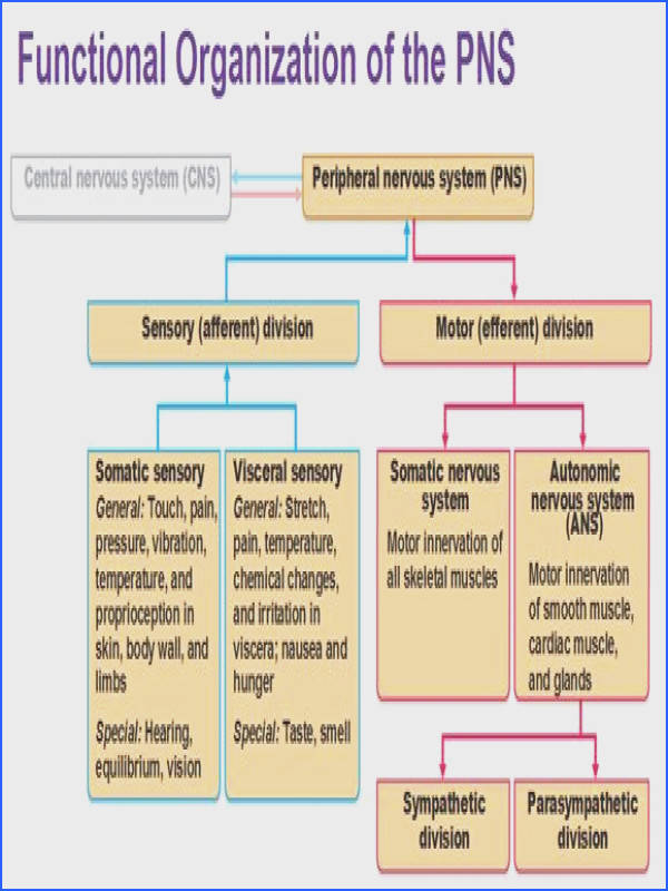 functional organization of peripheral nervous system
