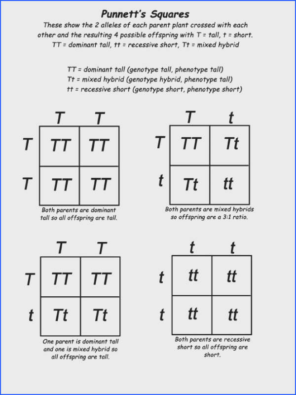 Genetics for Kids Mini Lecture and Punnett s Square Activity