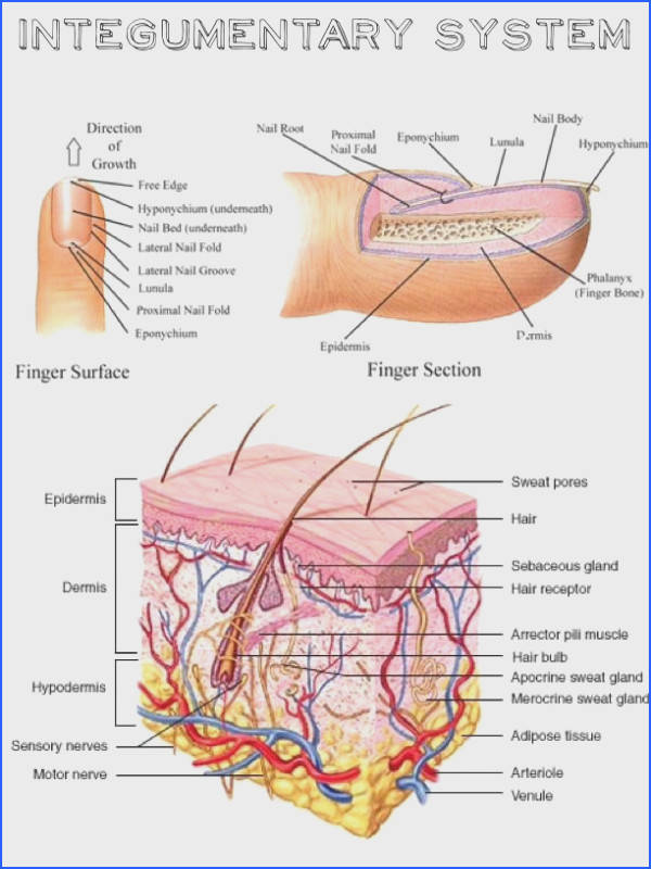 Human integumentary system best 25 human integumentary system ideas on pinterest wound