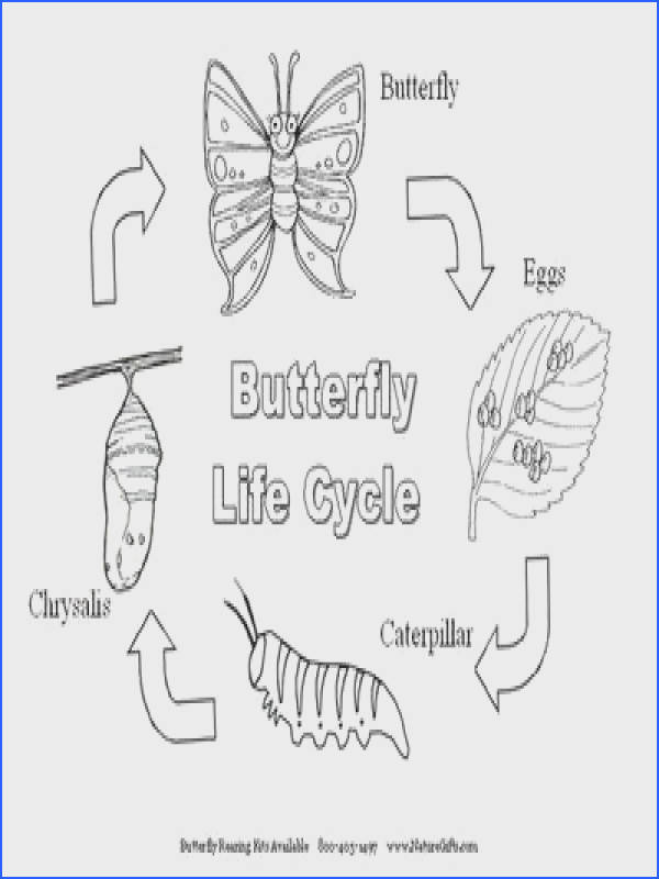 Free Worksheets  Life Cycle A Butterfly Worksheet