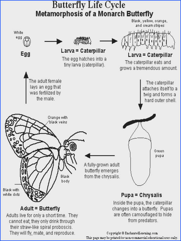 Life Cycle The Butterfly Worksheet