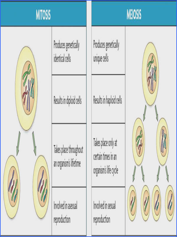Image result for meiosis and mitosis