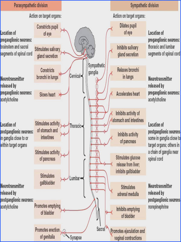 Nervous System and Its Functions