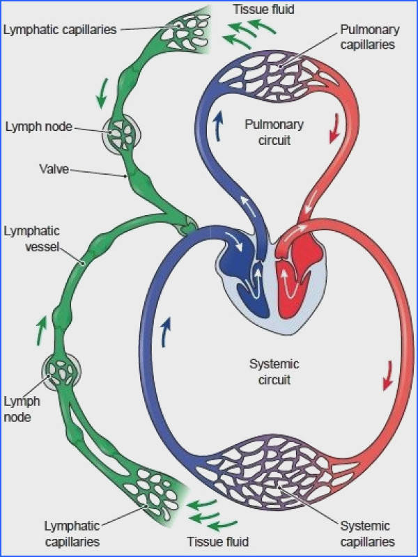 The lymphatic system is a collection of lymph vessels and glands It has 3 main roles Fluid balance return tissue fluid to the blood Protection from