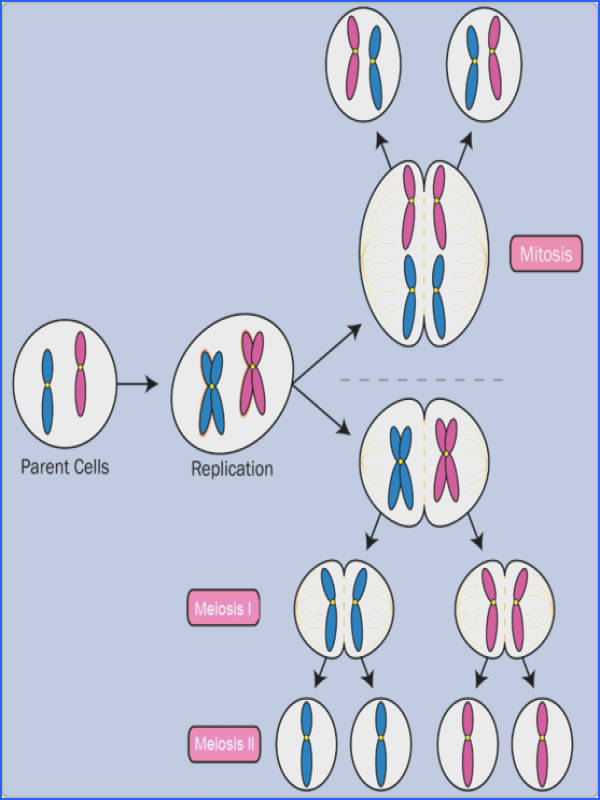 Mitosis and Meiosis AP Biology Crash Course Review