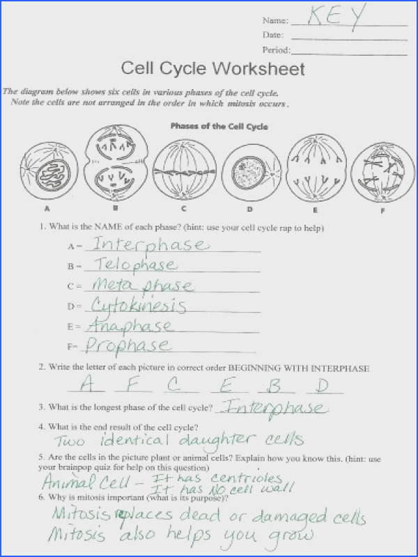 mitosis worksheet answers