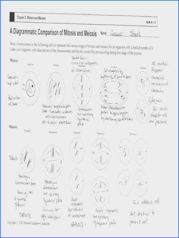 the cell cycle worksheet answers as well as large size of of mitosis worksheet answers cell