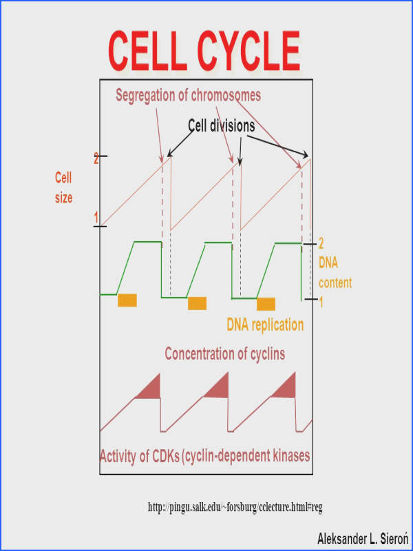 10 CELL CYCLE Segregation of chromosomes Cell divisions DNA replication