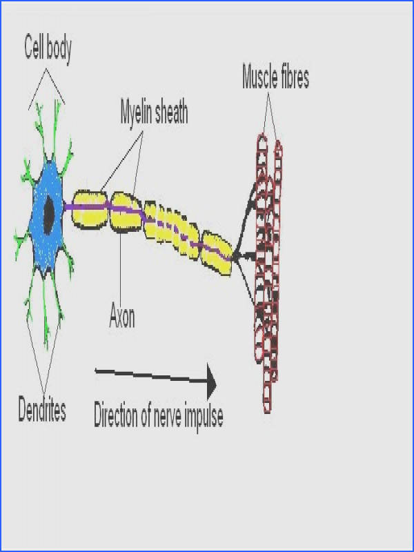 nervous system Neuron labelled and coloured JPG