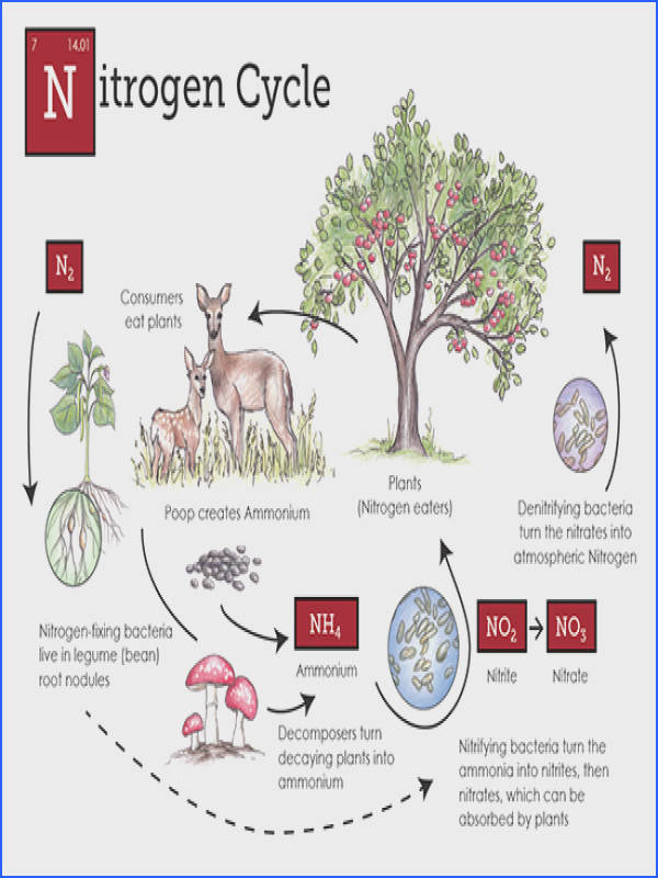 Nitrogen Cycle for the nerds