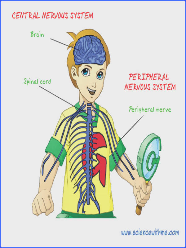Teach your kids about the Nervous System and its functions You can find interesting facts