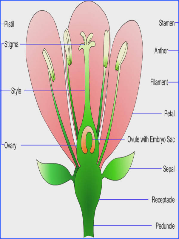 Printable Science Poems – Parts of a Plant Parts of a Flower