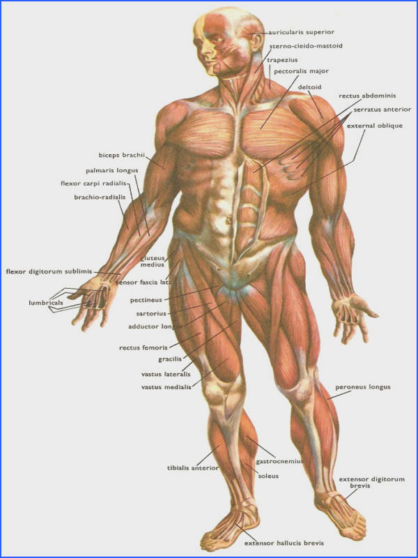 Posterior Skeletal Muscles Repinned by SOS Inc Resources Rebecca Porter Inc Resources Massage Pinterest