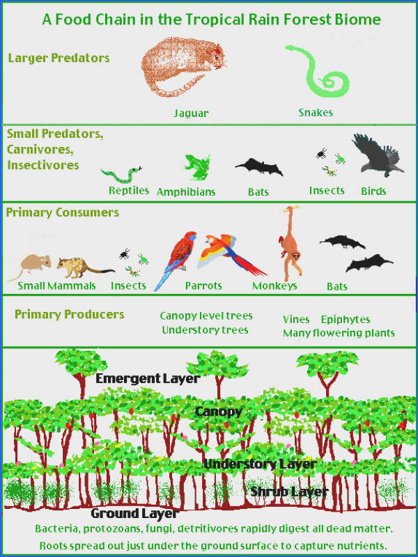 Rainforest Biome follow the link by clicking on the image for a plete lesson · Rainforest Food ChainRainforest