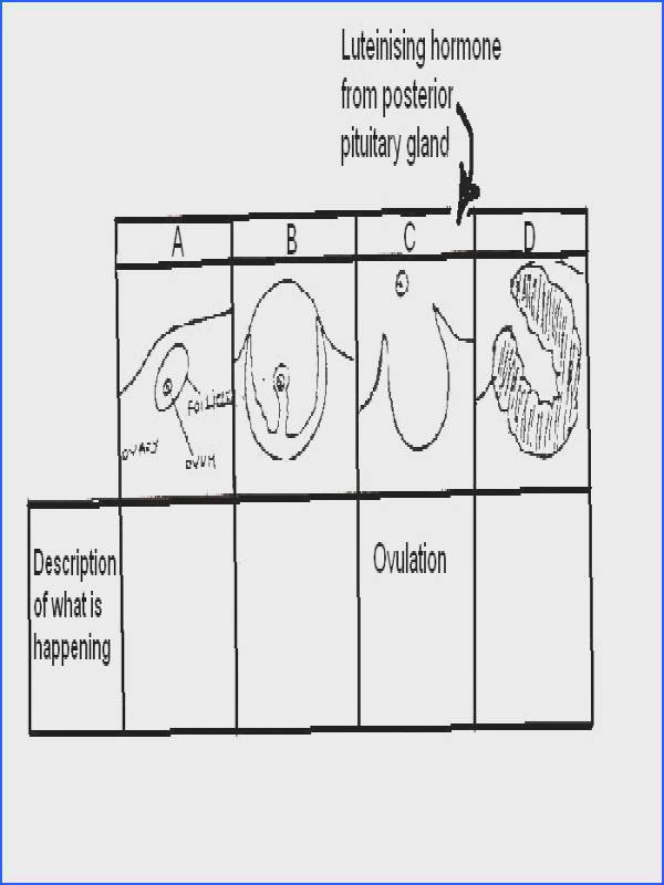 Stages of ovarian cycle for worksheet JPG