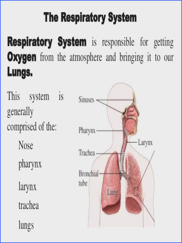12 The Respiratory System