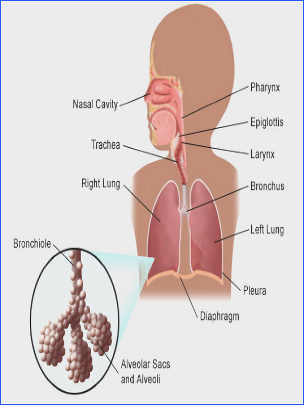 test your knowledge the respiratory system quiz on respiratory